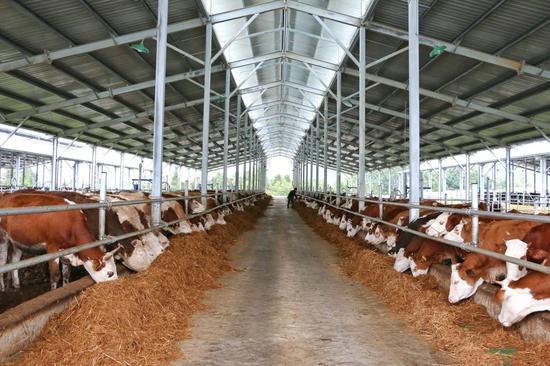 东方皓月公司勐冒肉牛养殖基地