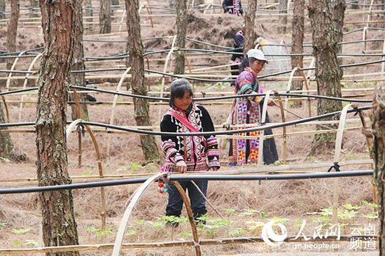 参与林下三七种植管理的竹塘乡村民
