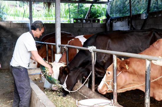 给牛添加草料