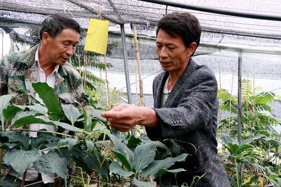 王顺席(右)正在查看重楼长势