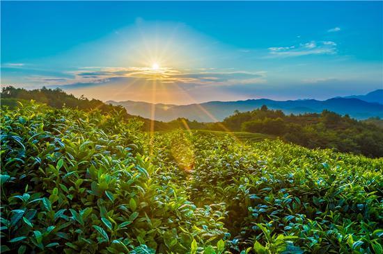 勐海茶山风光 。供图