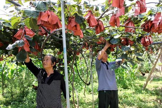 果农正在采摘猕猴桃。