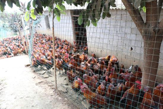 林下养鸡产业