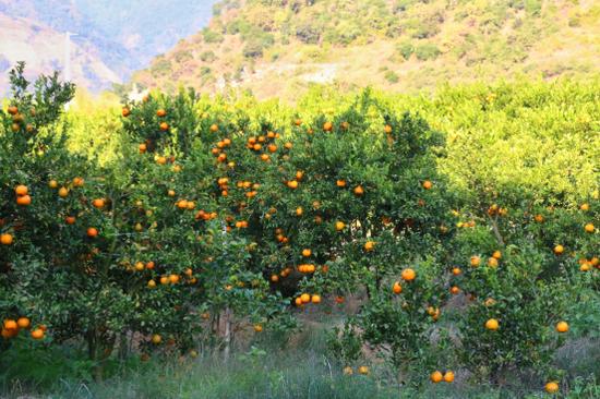 硕果累累的柑橘园