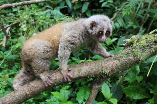 蜂猴(国家一级重点保护野生动物,列入《中国物种红色名录》濒危物种、《华盛顿濒危野生动植物物种国际贸易公约》和《世界自然保护联盟》濒危物种红色名录)