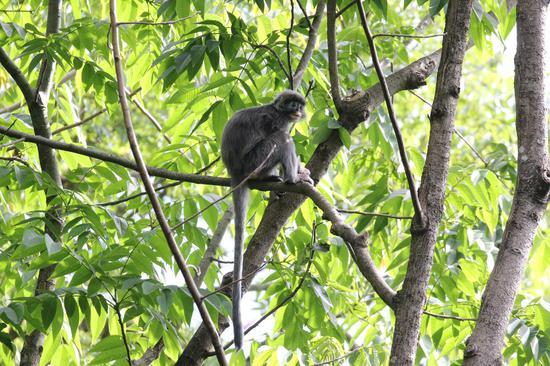 灰叶猴(国家一家重点保护野生动物,列入《濒危野生动植物物种国际贸易公约》附录)