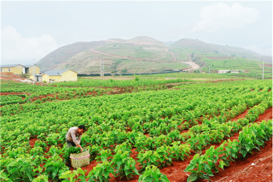 随风潜入夜,润物万亩桑 ——行走在绿色基调上的云南西邑乡