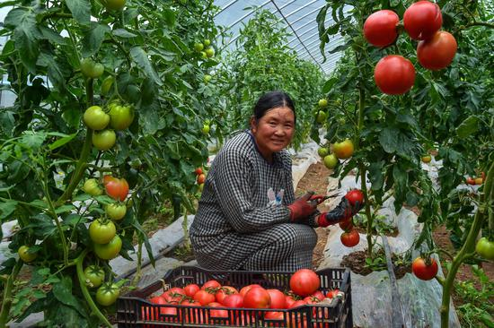 阿都乡营养餐大棚基地番茄成熟采摘