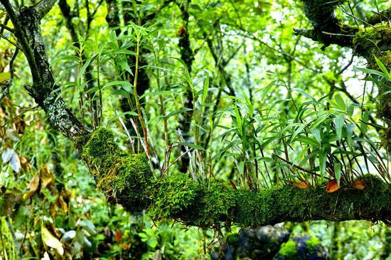 树头石斛抽嫩条(碧寨乡供图)