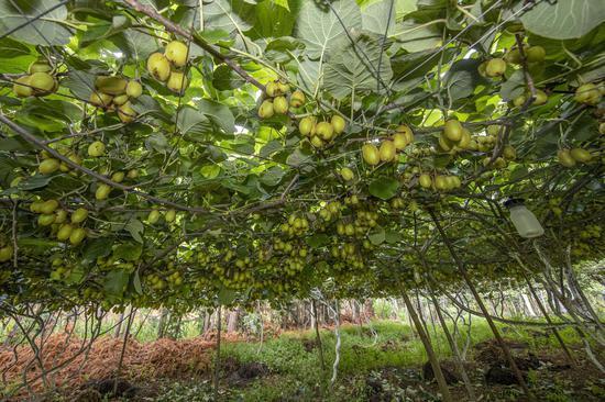 猕猴桃种植园丰收在望