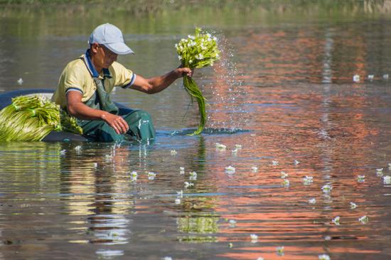 洱源县松曲村:小小的海菜实现致富和环保双赢