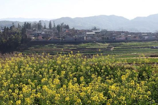 司莫拉佤族村油菜花开,春意盎然。杨峥 摄