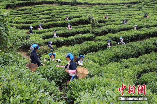 普洱大力发展茶产业,图为江城县农民正在采茶。 供图
