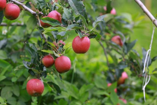 苹果基地里的原生态苹果