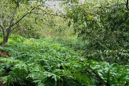 核桃树下种植的魔芋(程浩 摄)