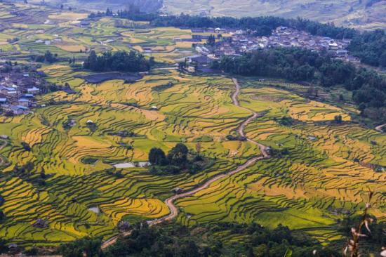 龙江乡梯田水稻(供图)