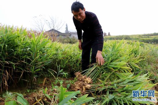 农户采挖生姜(11月5日摄)。新华网发(郭燚 摄)