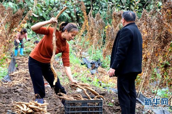 农户在收山药(11月5日摄)。新华网发(郭燚 摄)