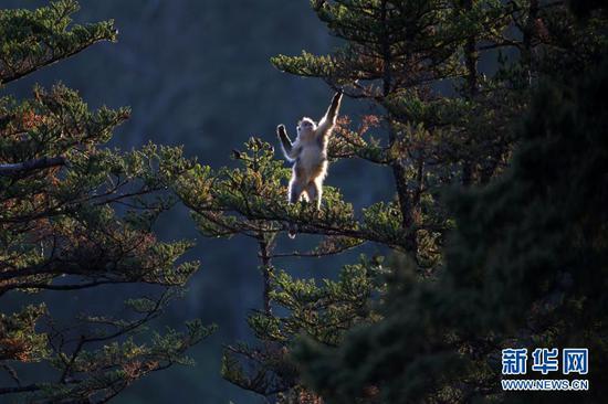 这是在云南省境内拍摄的滇金丝猴(2010年11月18日摄)。新华社发(云南省林业和草原局 供图)