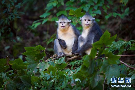 这是在云南省境内拍摄的滇金丝猴(2008年10月6日摄)。新华社发(云南省林业和草原局 供图)