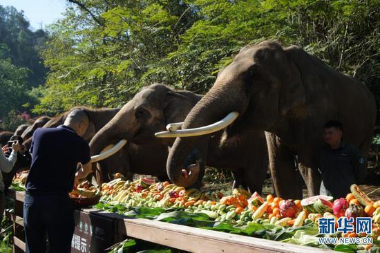 云南省西双版纳傣族自治州野象谷景区内的亚洲象享用大象长桌宴(2月22日摄)。新华社记者陈倩慈 摄
