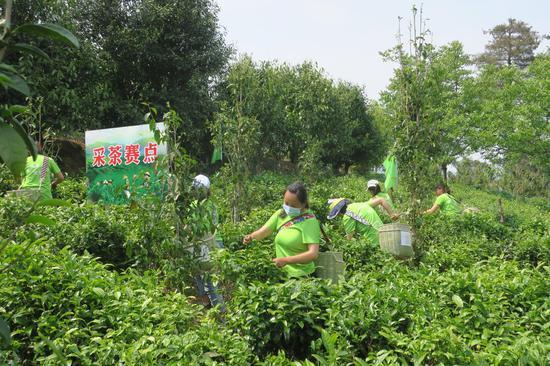凤庆县大寺乡:古树茶资源带动绿色产业发展