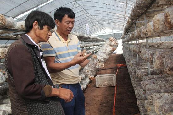 剑川县羊岑乡石登村群众杨桂花采摘香菇