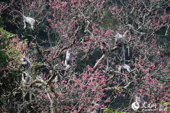 一群灰叶猴在享受鲜花大餐。景东县融媒体中心供图