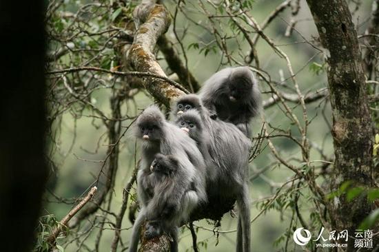 一群灰叶猴在树枝上休息。景东县融媒体中心供图