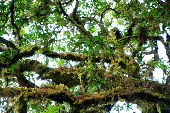 昌宁发现大面积野生桂花古树群落部分树龄已超千年