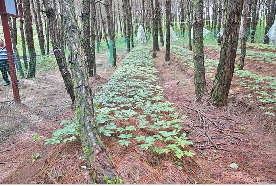 林下三七种植