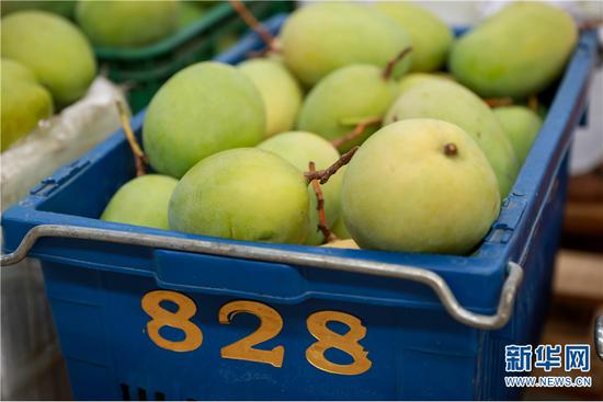 华坪金芒果生态开发有限公司里待加工的芒果