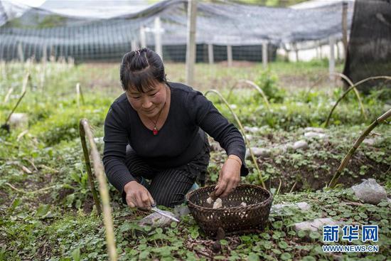 独龙江乡迪政当村村民在收获羊肚菌(4月18日摄)