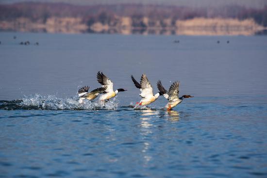 普通秋沙鸭,苏金泉摄影。