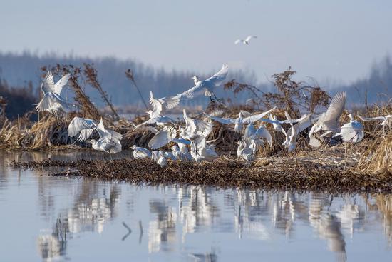 大白鹭,苏金泉摄影。