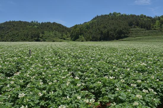 宝山镇马铃薯标准化种植