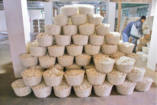 云南昌宁:桑蚕产业助农增收