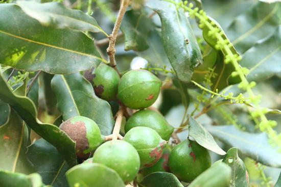 小小堅果綠了山坡 富了農民