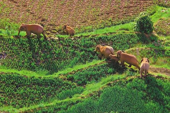无人机拍下的象群离开树林画面