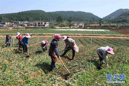 4月24日,云南砚山县者腊乡夸溪村的农民在蔬菜种植基地除草。
