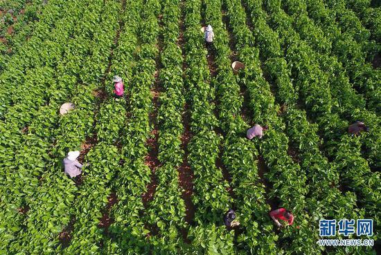 5月16日,寻甸县金所街道草海子村的农妇在采摘蚕桑叶(无人机照片)。