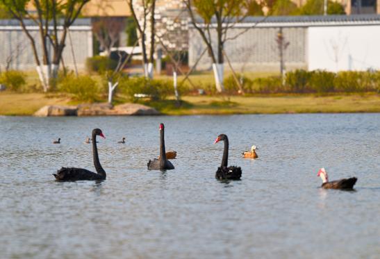 昌宁茶韵公园里鸟类众多