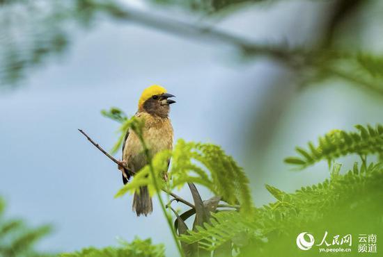 黄胸织布雀雄鸟正在求偶。摄影:张仁韬