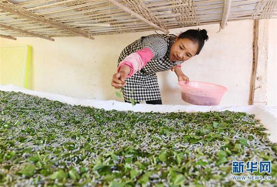 5月16日,寻甸县金所街道草海子村的农妇妥国芬在给蚕喂桑叶。