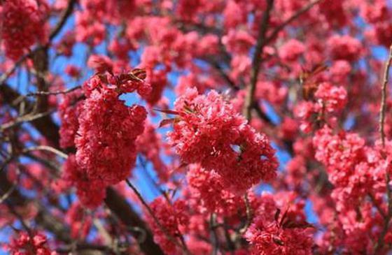 云品丨花色红艳花瓣多 云南8旬园林专家发现玫红色樱花