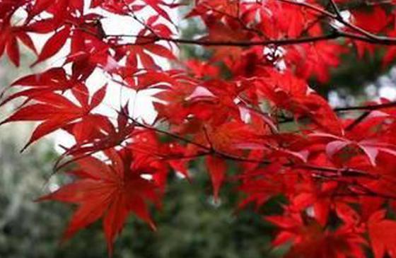 高清图︱红叶太美了!航拍昆明黑龙潭冬日美景