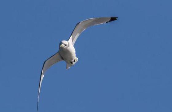 """中国罕见鸟种""""三趾鸥""""惊现洱海!"""