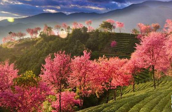旅游丨樱花开时等你来 情醉大理无量山