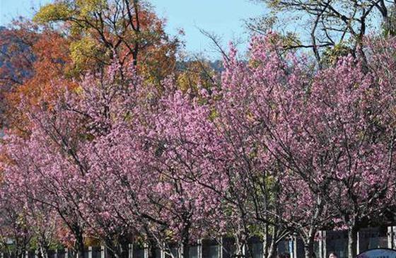 旅游丨赏一路繁花 昆明冬季鲜花盛开