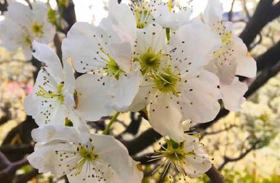旅游丨个旧加级寨 千树万树梨花开